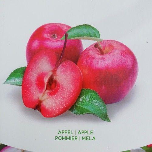 Standard Apple Malus Era Redlove