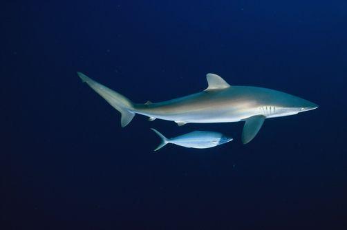 A Smaller Fish Swimming Under A Silky Shark Carcharhius Falciformis Photo By Bill Curtsinger Silky Shark Fish Swimming Shark