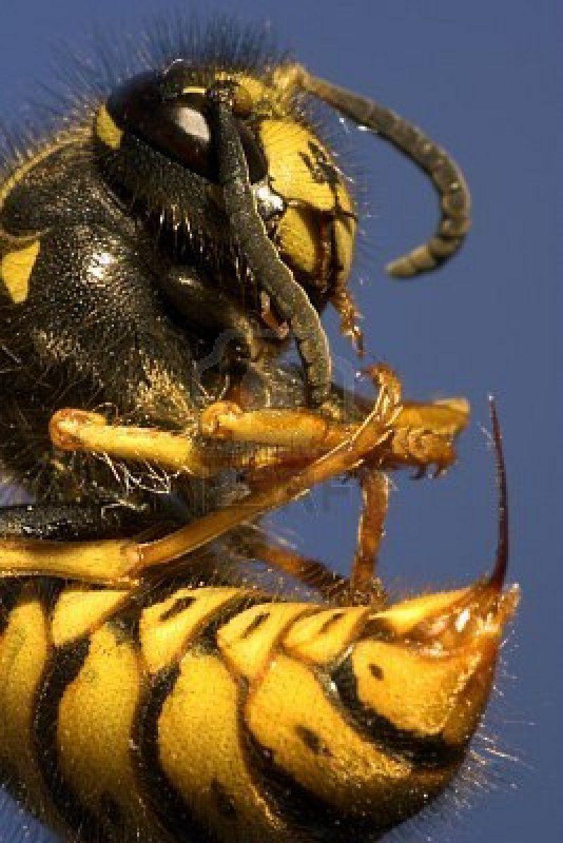 Pin On Stinging Pests