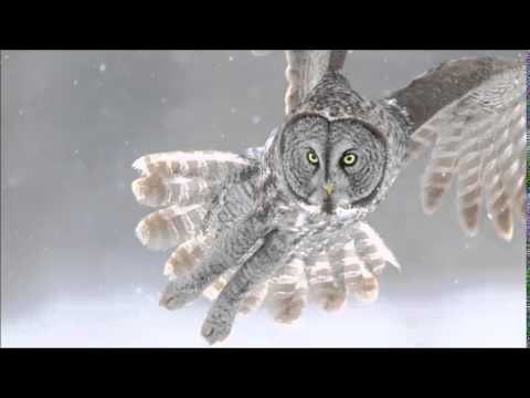 great gray owl sound, calls, and hooting | Great grey owl ...