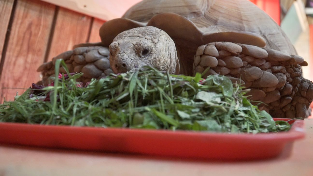 Pin by mia garcia on tort things Sulcata tortoise