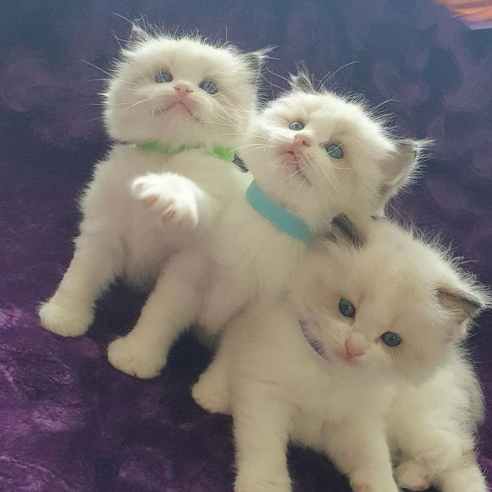 Mother Is Blue Bicolour And Father Is Blue Bicolour Both Parents From Good Champion Line Both Parents Are Registered In 2020 Litter Training Cats For Sale Pets Cats