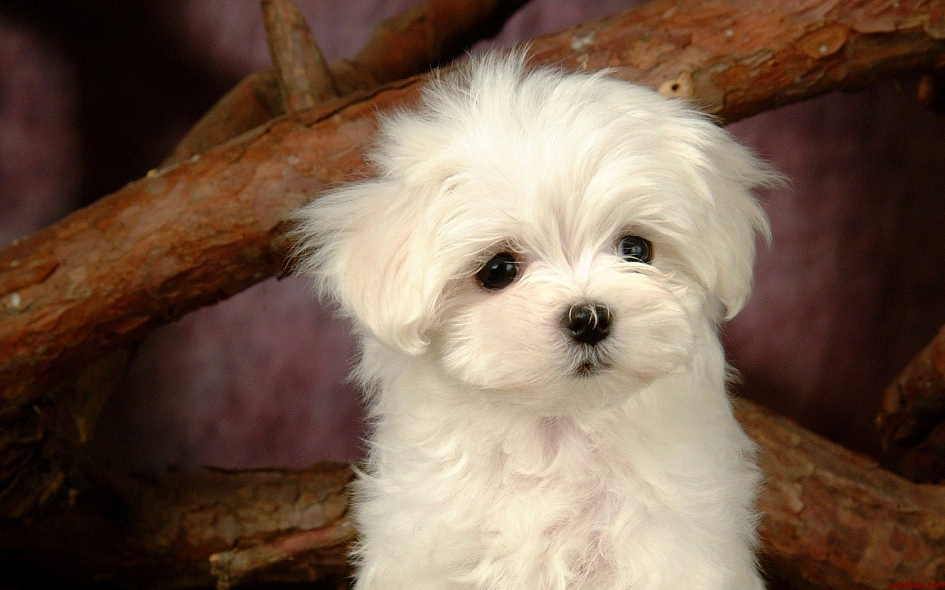 cute dogs Puppies, Maltese dogs, Cute puppies