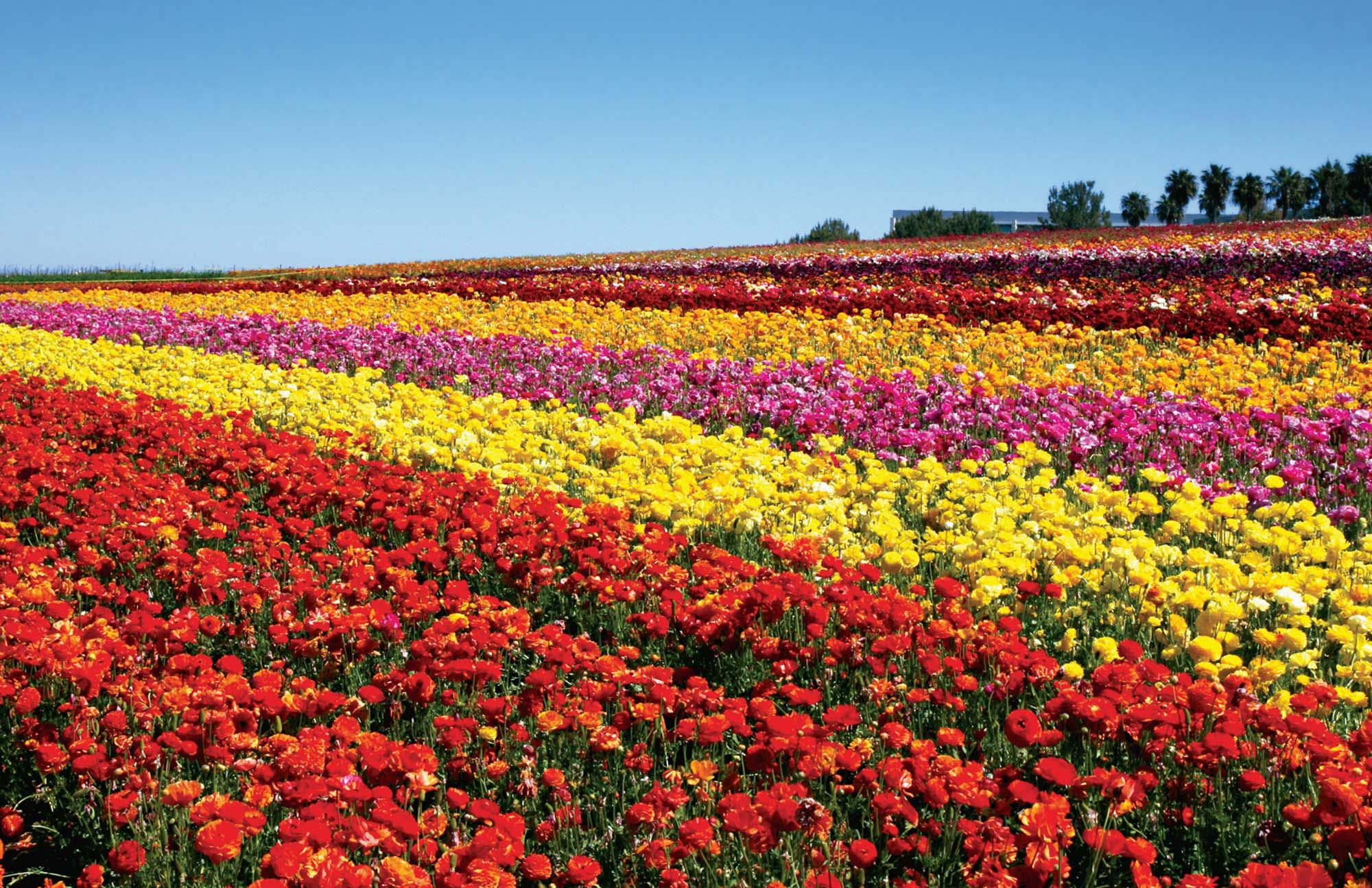 Carlsbad Ranch Flower Fields Feature 50 Acres Of Ranunculus Flowers March 1 Through May 12 San Diegan Carlsbad Flower Fields Flower Field Carlsbad
