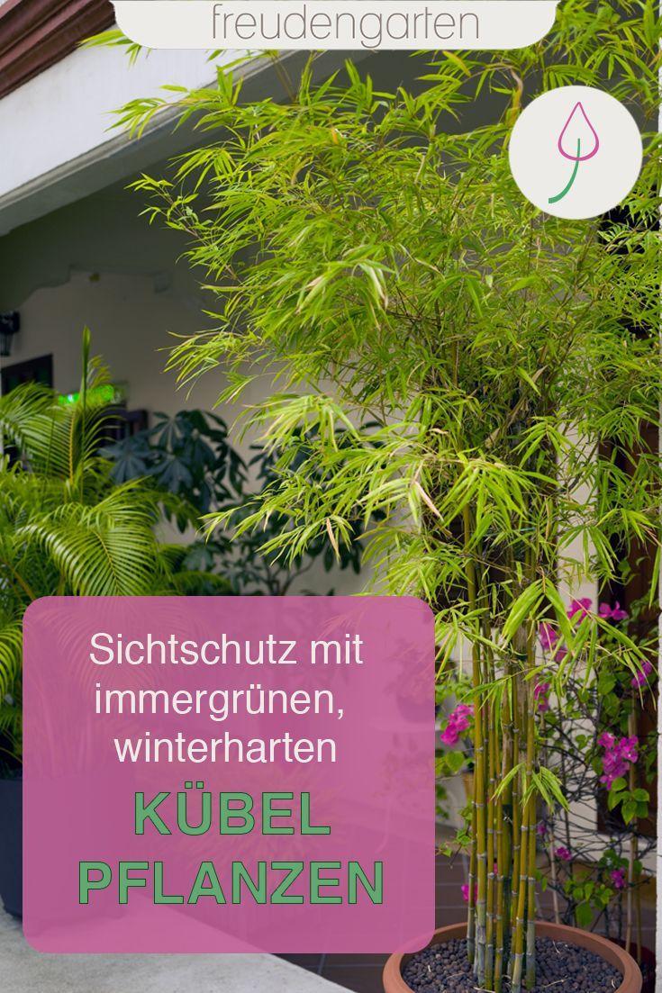 Immergrune Kubelpflanzen Kubelpflanzen Pflanzen Kubelpflanzen Winterhart