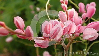 It is a vine with pink or white flowers commonly known as mexican it is a vine with pink or white flowers commonly known as mexican creeper coral vine bee bush or san miguelito vine is a species of flowering plant in mightylinksfo