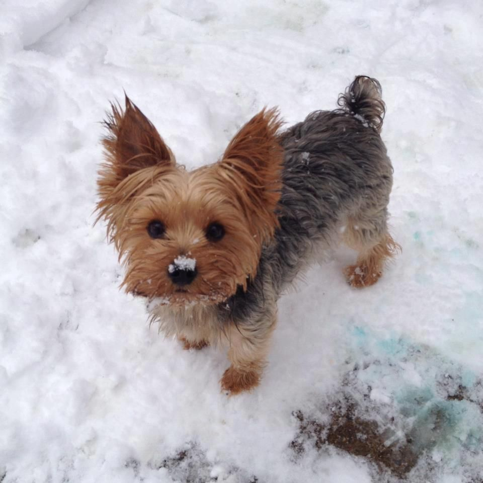 Cute Little Yorkie Playing In The Snow Yorkshireterrier Yorkie