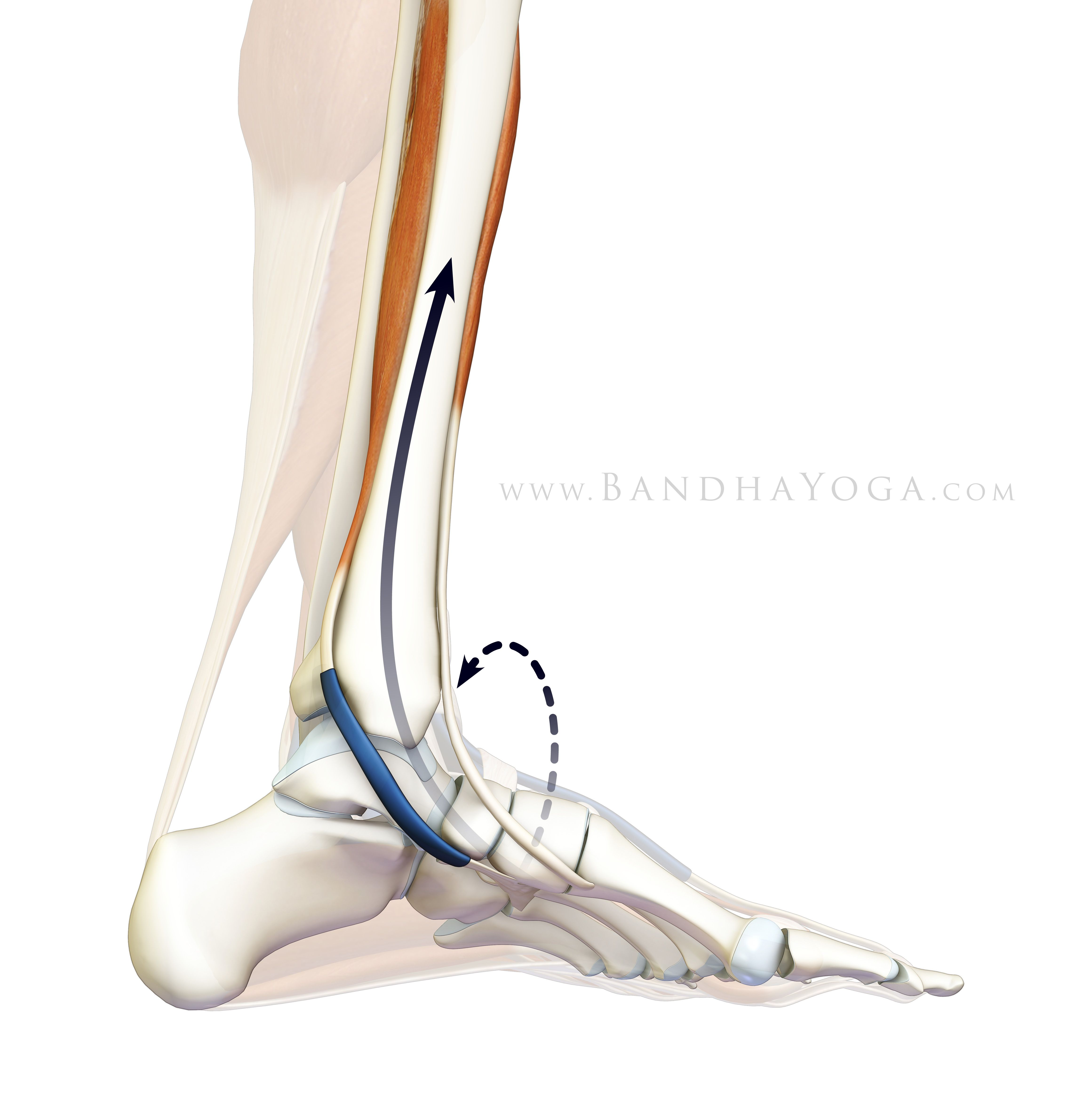 Pressing down the outer edge of the foot engages the tibialis ...