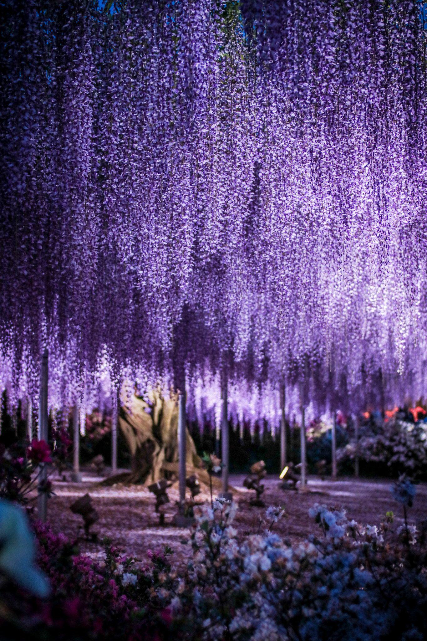The Great Purple Wisteria Purple Wisteria Wisteria Wisteria Japan