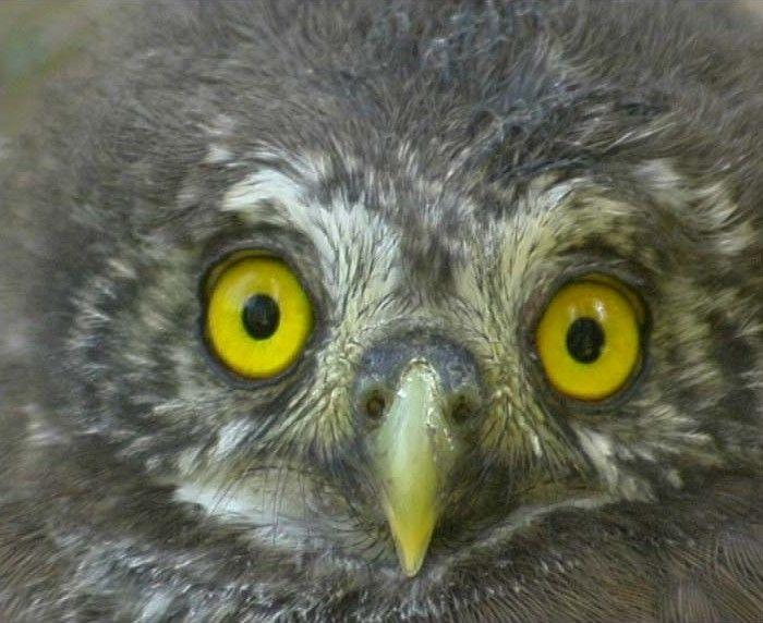 Eurasian Pygmy Owl (Glaucidium passerinum). Photo by Claus Koenig.