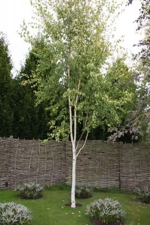 Betula pen golden beauty betula pendula golden beauty true for Silver birch trees for small gardens