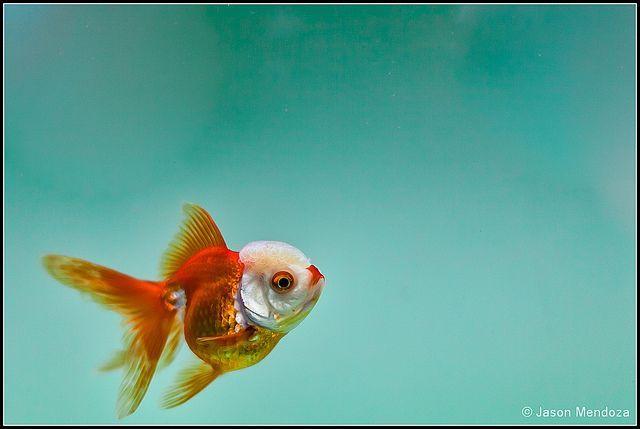 Red Lips Oranda Goldfish Oranda Goldfish Pet Fish Goldfish