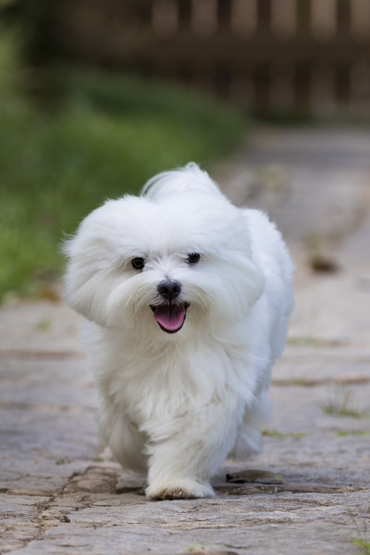 A White Maltese Dog Running On A Pathway With Grass On The Sides Hypoallergenic Dog Breed Dog Breeds Maltese Puppy