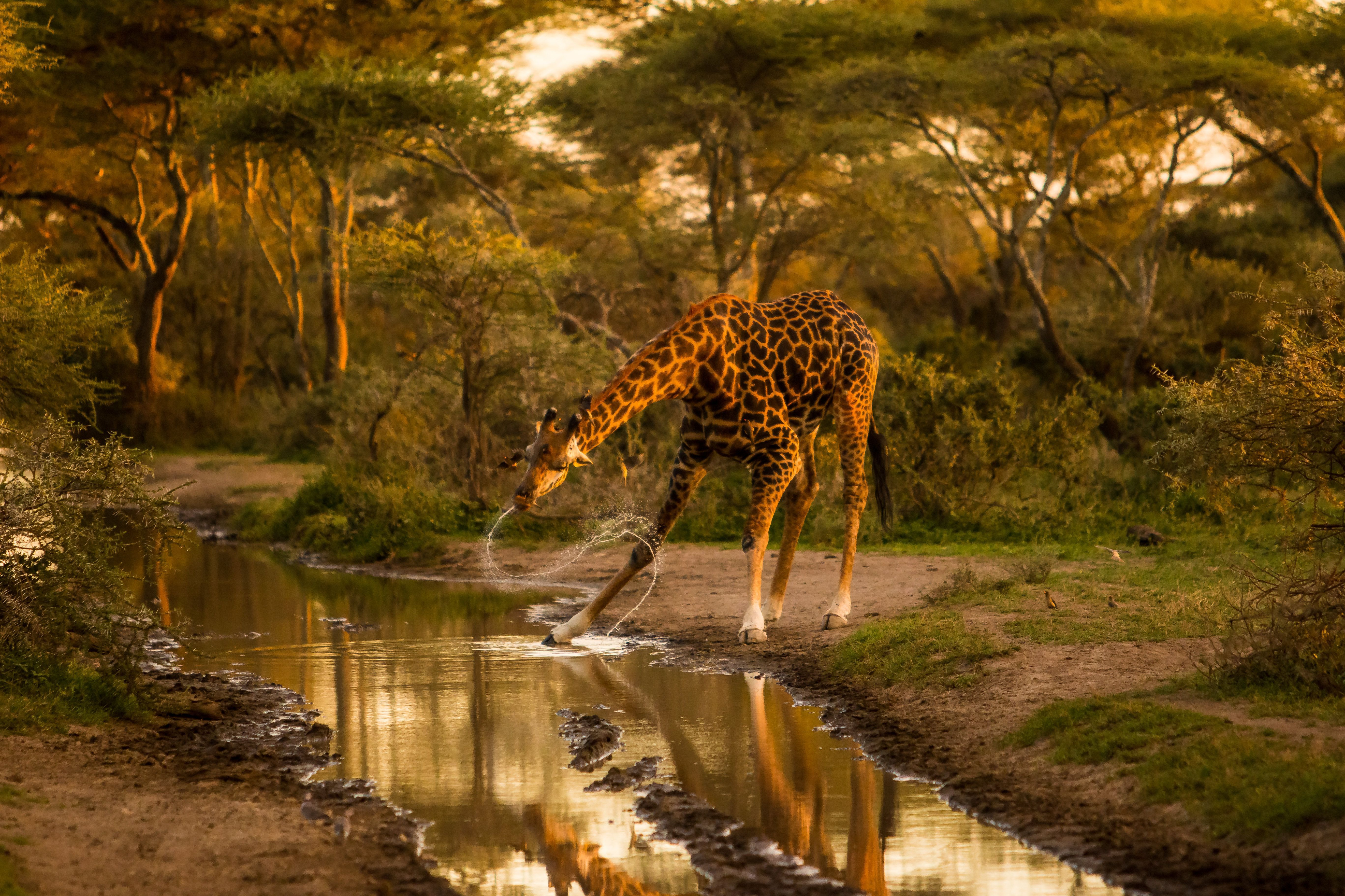 Drinking Giraffe Image National Geographic Your Shot Photo Of The Day National Geographic Animals National Geographic Photography Giraffe Images