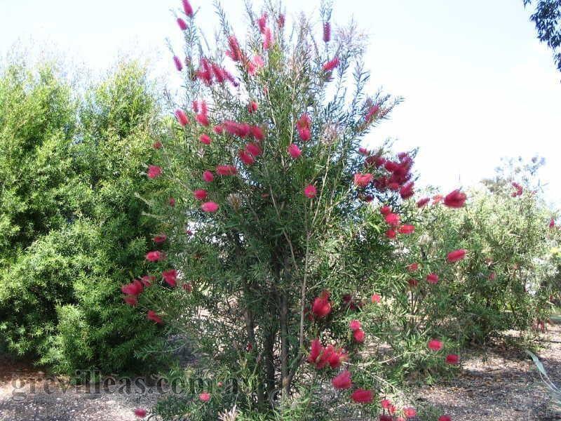 Ame callistemon eureka origin description tall upright for Tall flowering shrubs