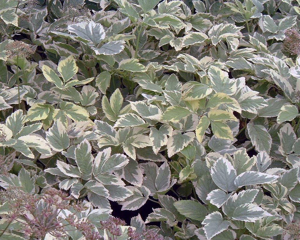 Variegated Bishops Weed Good Ground Cover In Dry Shade Partial