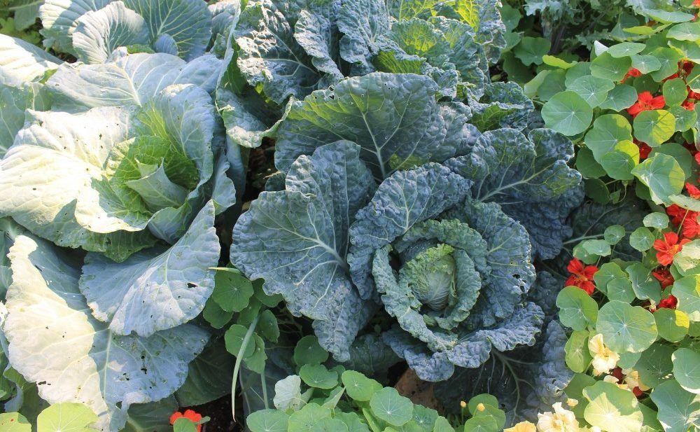 Polyculture Gardening Examples Garden companion planting