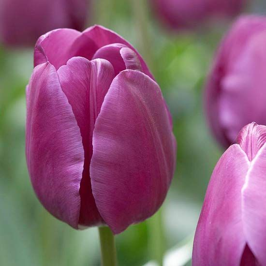 Top Tulips That Come Back Every Year Tulips Flowers Mothers Day Flowers