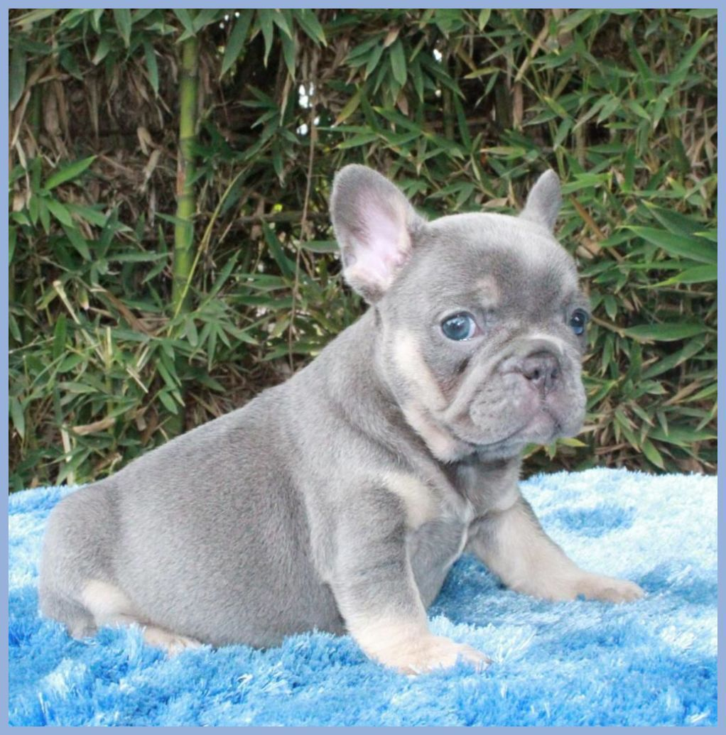 Pets By Leigh Cawley In 2020 Lilac French Bulldog French