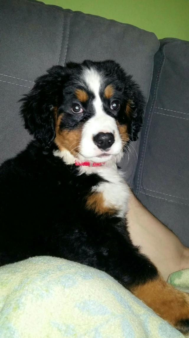 Bernese Mountian Dog Girl For Sale In Beverley Yorkshire Preloved Dogs Puppies Dogs And Puppies