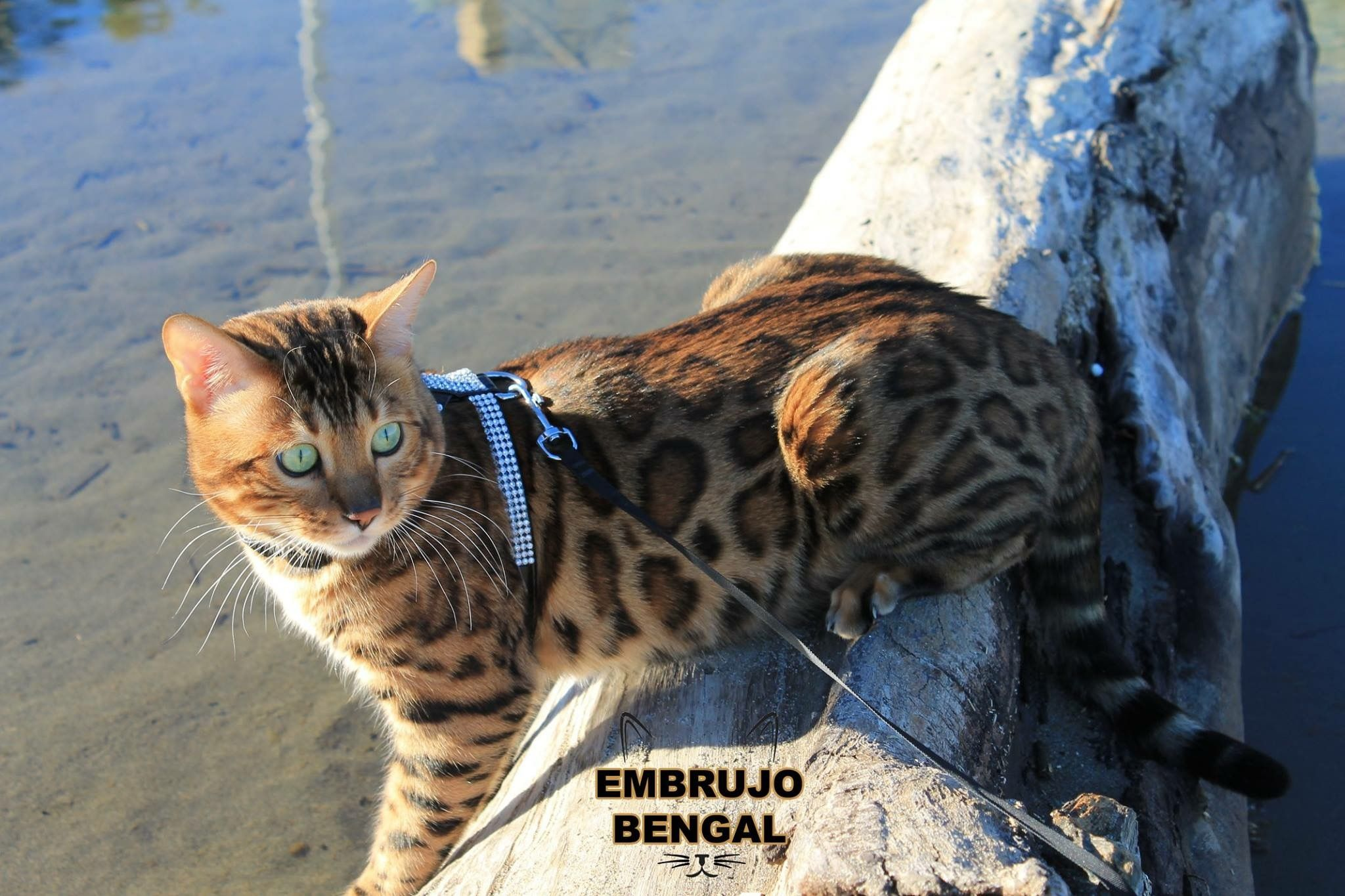 Pin by Cristina Plaza on Bengal cat | Pinterest