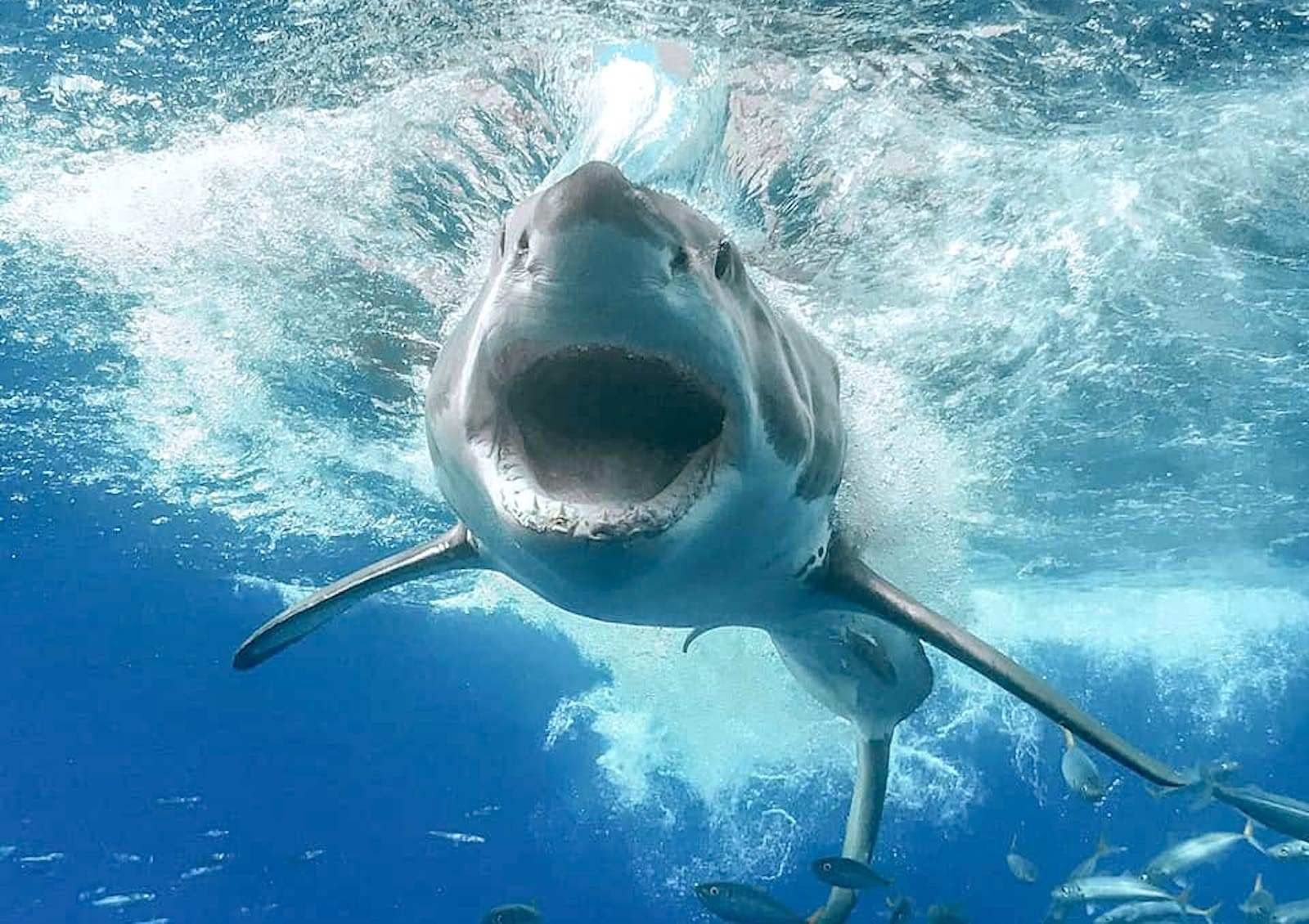 How To See Great White Sharks In The Wild In