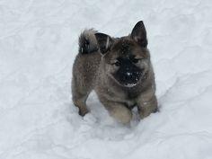 norwegian elkhound puppy - Google Search