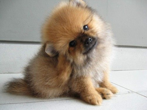 Rare Genuine Miniature Teacup Pomeranian Puppies For Sale Uk