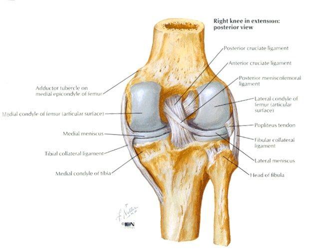 Httpuploadorthobulletstopic3009imagespcl anatomyg explore the knee anatomy and more ccuart Gallery