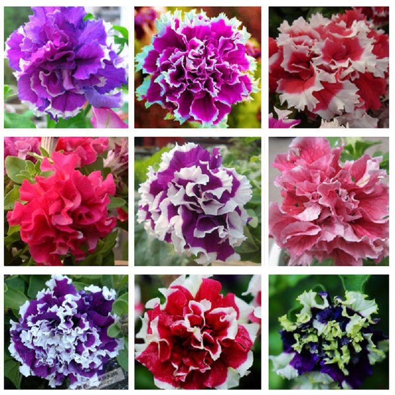 Cheap Envio Gratis Petalos De Petunia Semillas De Flores Para El