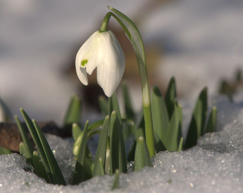 Flowers that bloom in winter months - Snowdrop Flowers How To Plant And Care For Snowdrops