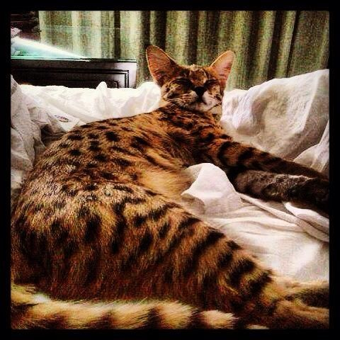 Cat Savannah Cat F1 Savannah Cat Savannah Cat Savannah Chat