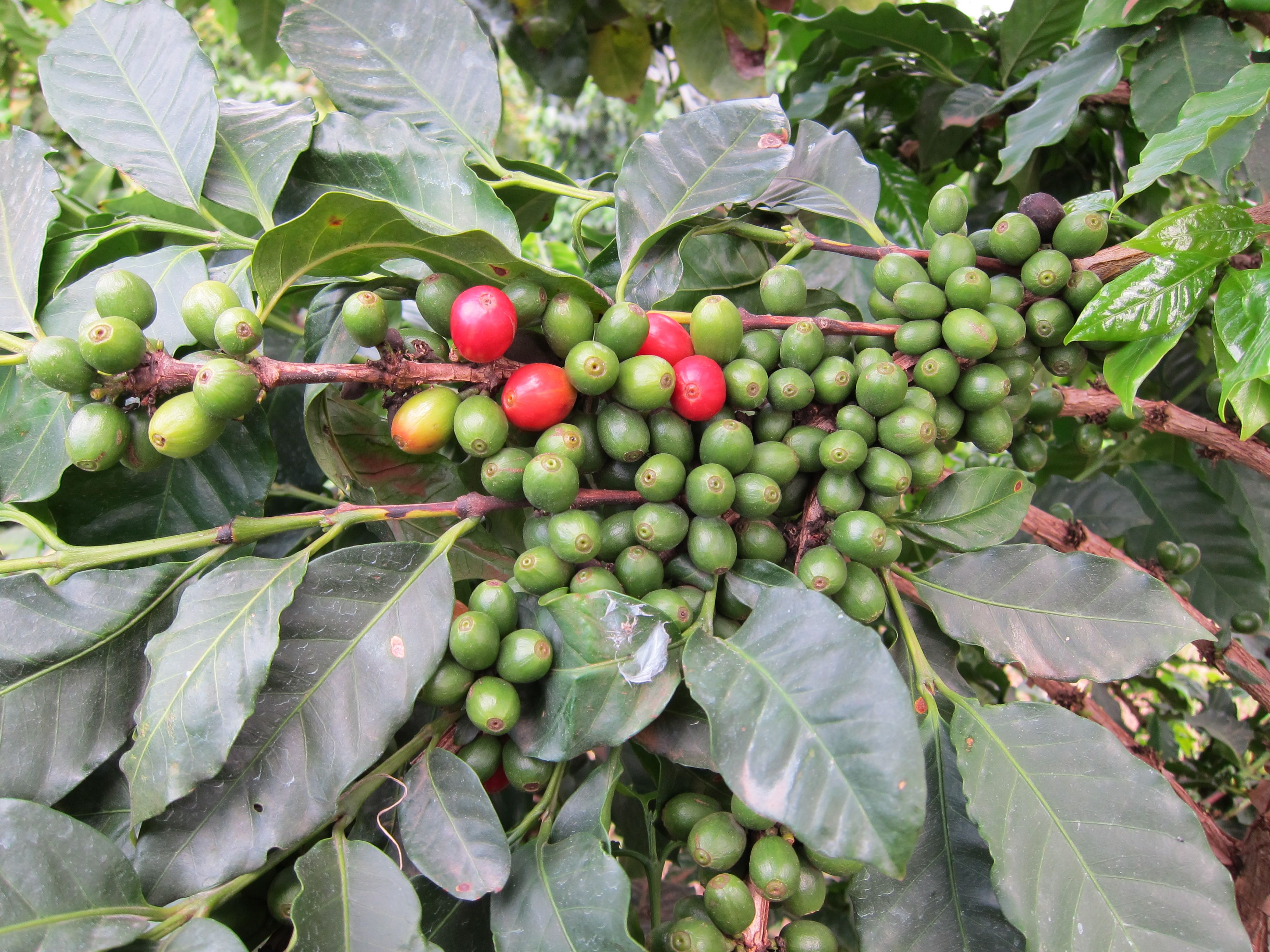 Only The Ripe Coffee Cherries Are Picked That S The Red Ones These Will Have The Right Amount Of Nutrients To Deliver A Smooth Ba Coffee Planet Fruit Coffee