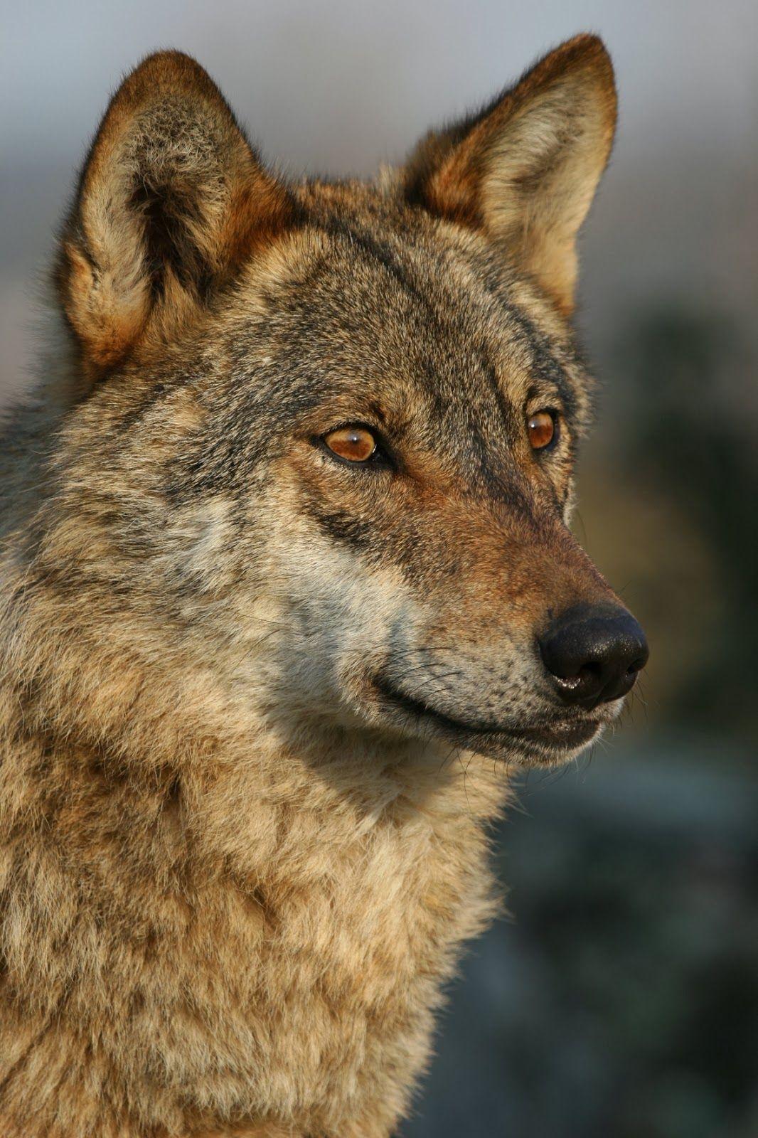 0611140856 Lobo Iberico 5 Jpg 1066 1600 Animales En Peligro De Extincion Fotos De Lobo Lobo Bosque