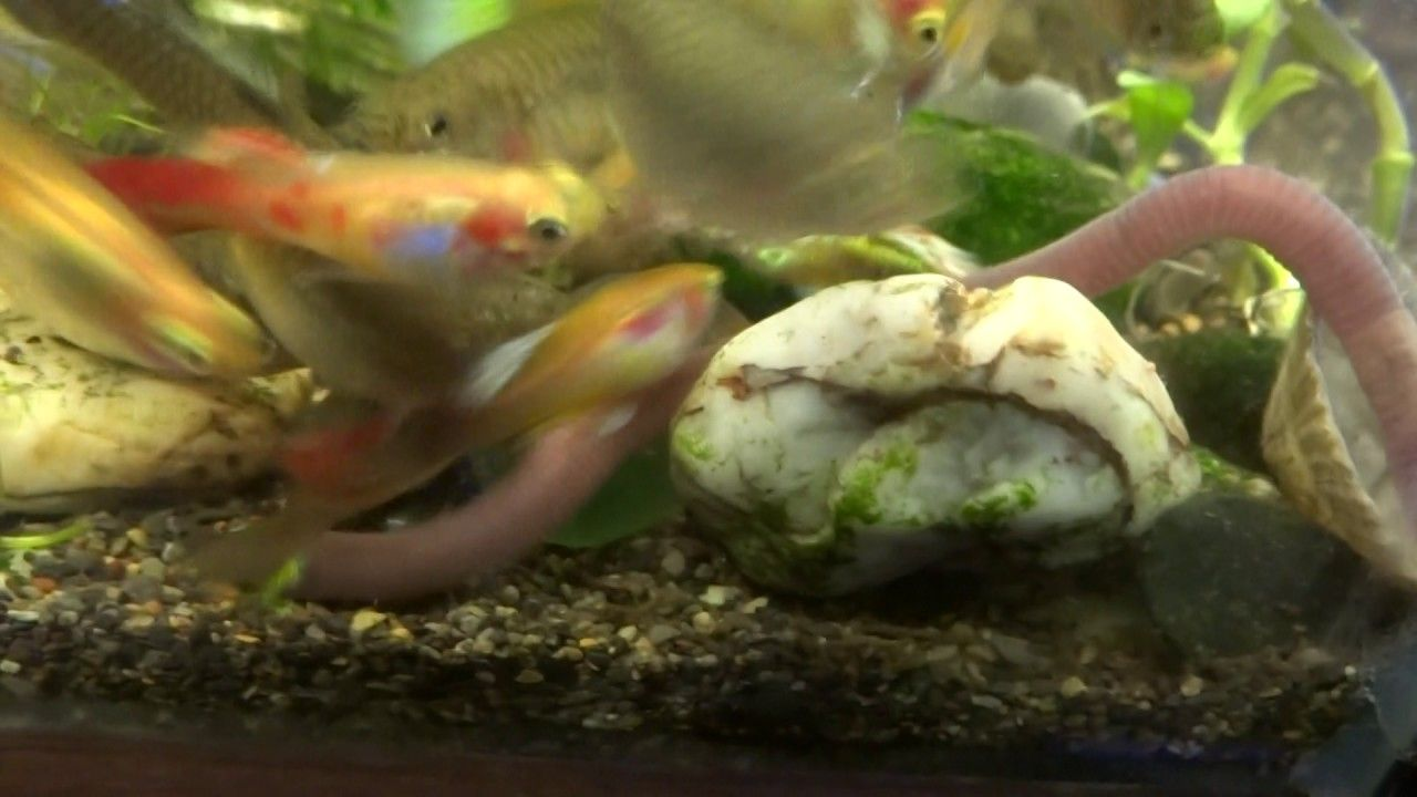 Can Guppies Fish Eat Big Worms Part2 Guppy Fish Guppy Fish Tank