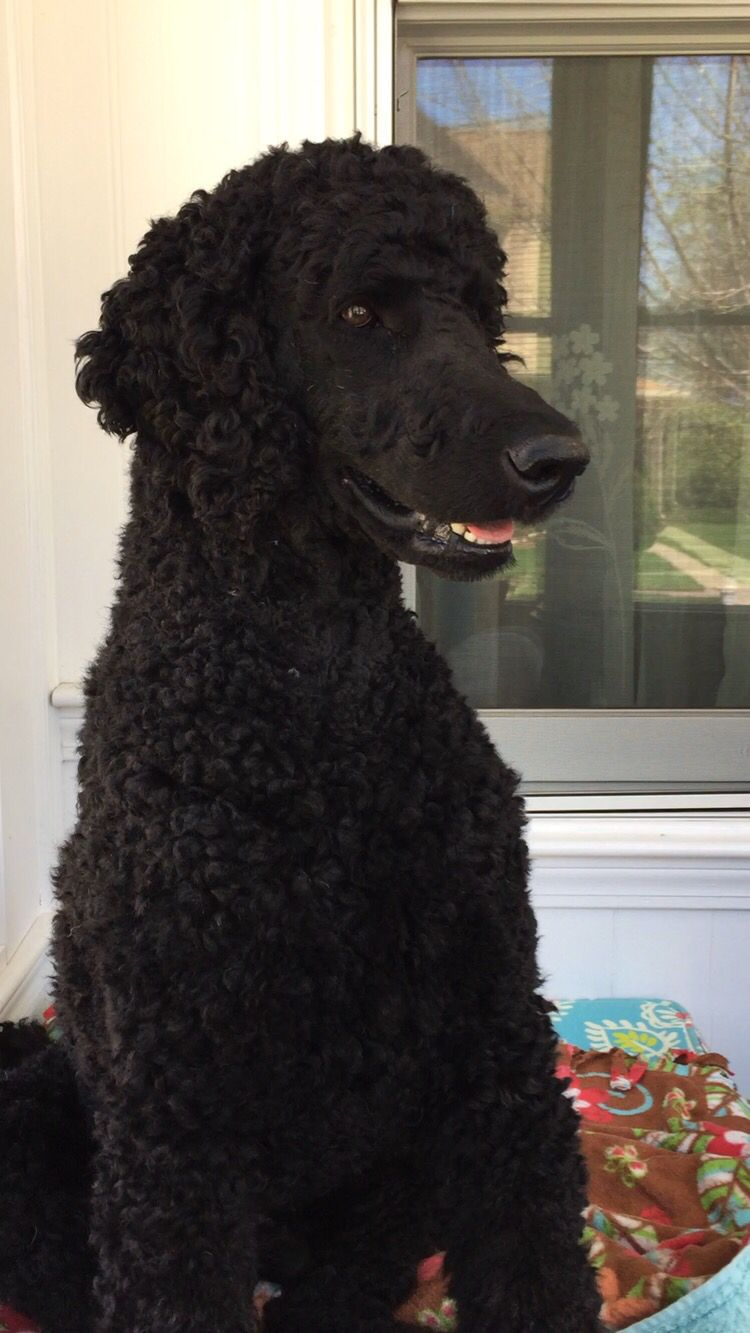 Ulysses the standard Poodle puppy