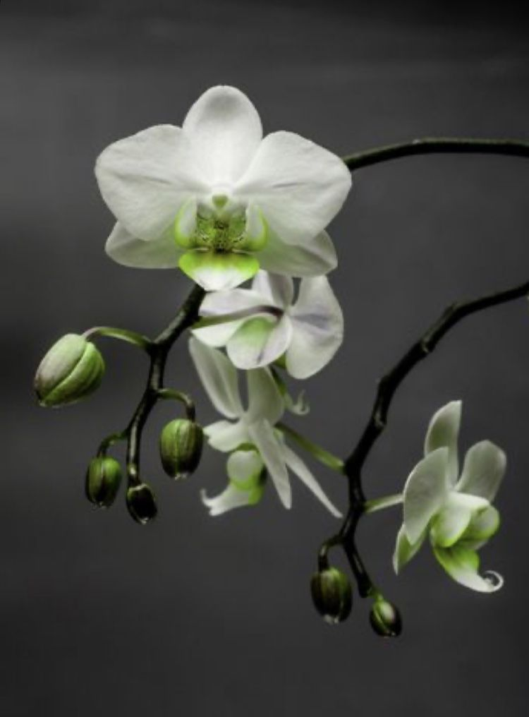 Pin By Yukta Bhavsar Yb On Green Gray Green Orchid Orchids Orchid Photography