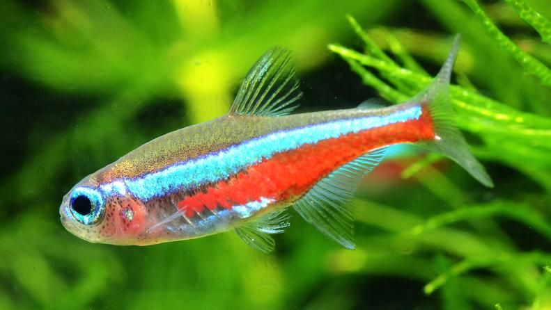 The Neon Tetra Is One Of The Most Popular Freshwater Tropical Fish With Very Colorful And Neonize They Prefers Densel Neon Tetra Neon Tetra Fish Aquarium Fish
