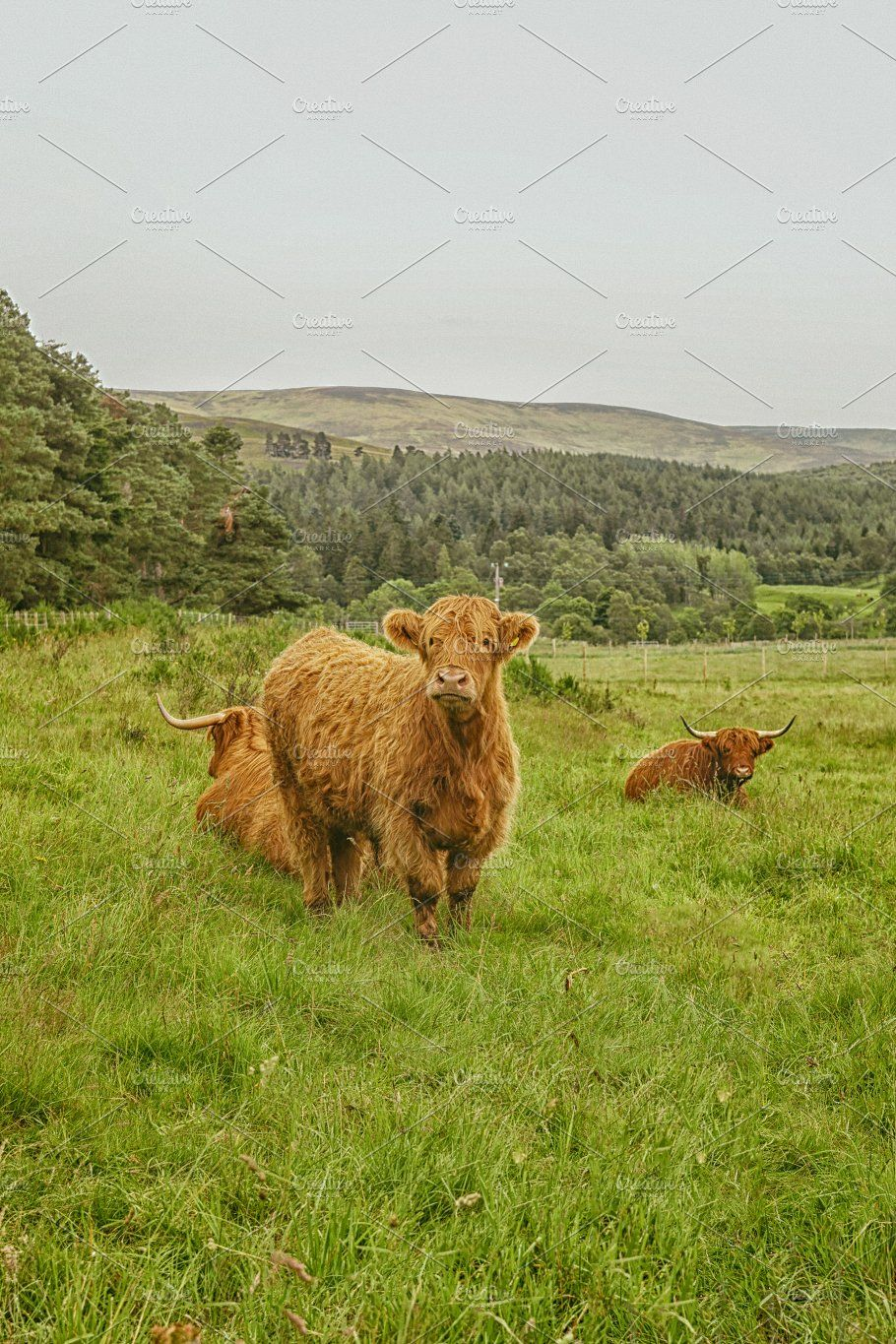 Scottish Highland cattle by Patricia Hofmeester on ...