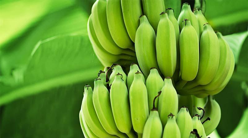 plantain și varicosa