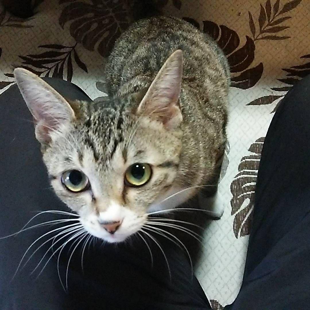いいね 9件 コメント1件 Ozawa Kさん Kiy Ozawa のinstagramアカウント ノア が調子悪いをいいことに パパから離れない ココちゃん 朝から晩まで パパが居ると離れない ちょっと歩くと肩に乗るわ お腹や背中に飛び乗る Instagram Posts Cats Animals