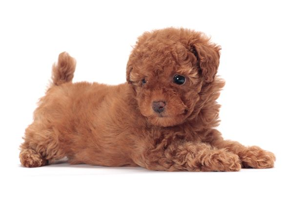 Toy Poodle Dog Breed 11 Tiny Dogs With Big Bold Personalities