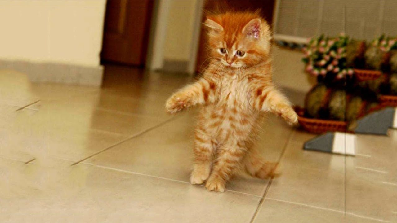 Fluffy Orange Kittens Walking Funny And Thinking They Are Humans Funny Animals Kittens Cutest Kittens