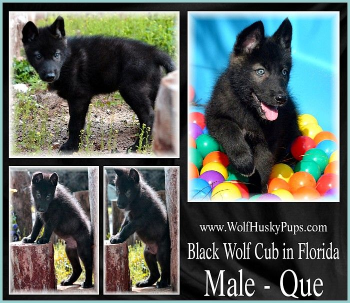 Black Wolf Dog Puppy Ready Now In Florida Wolfhuskypups Com Wolf Dog Puppy Black Wolf Wolf Dog