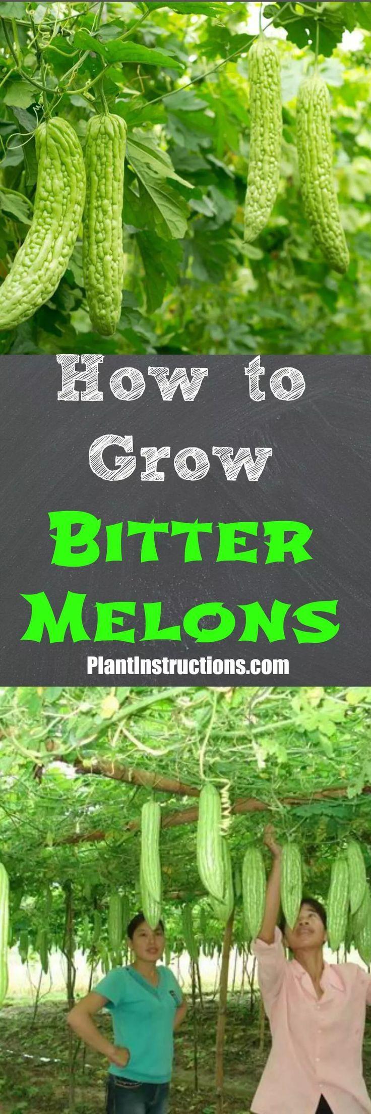 Wie man bittere Melone wächst Wie man bittere Melone wächst,