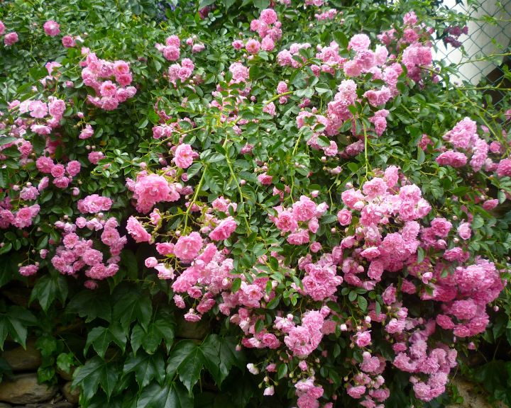 Spectacular pink roses