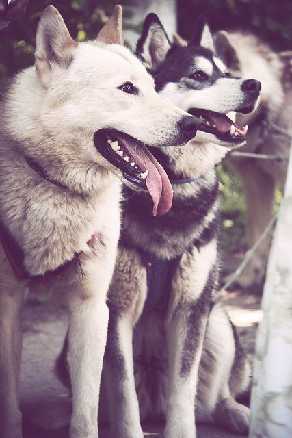 husky by luke Photographer, via Flickr  - one day I will have a husky :)
