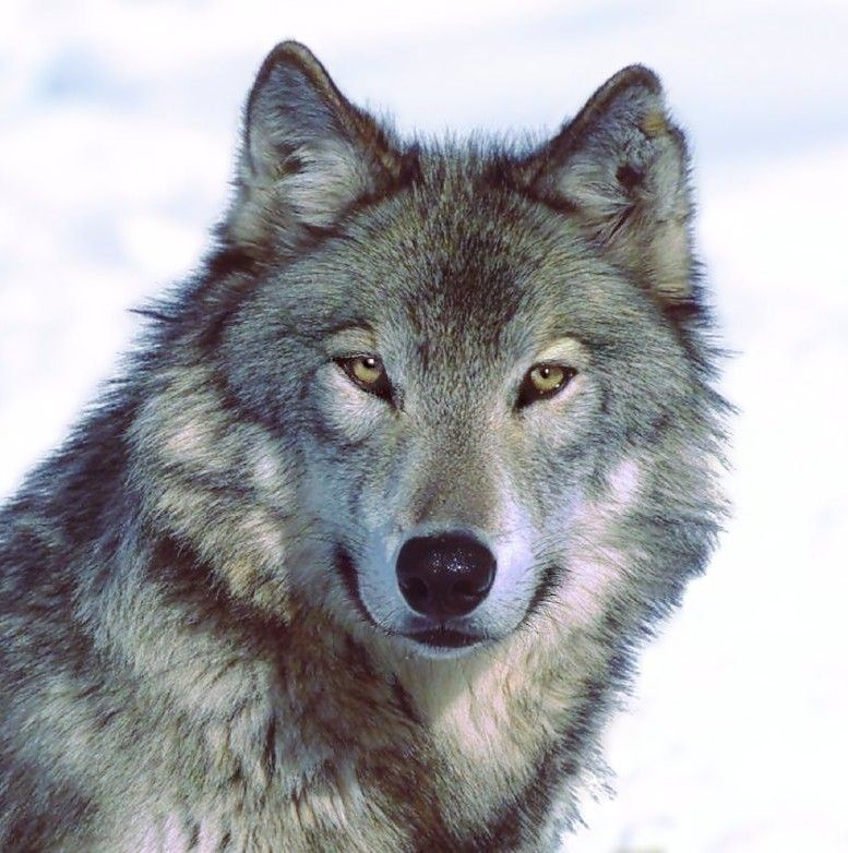 Natural Resources Commission to Ask DNR for Wolf Hunting Season Recommendation at April Meeting