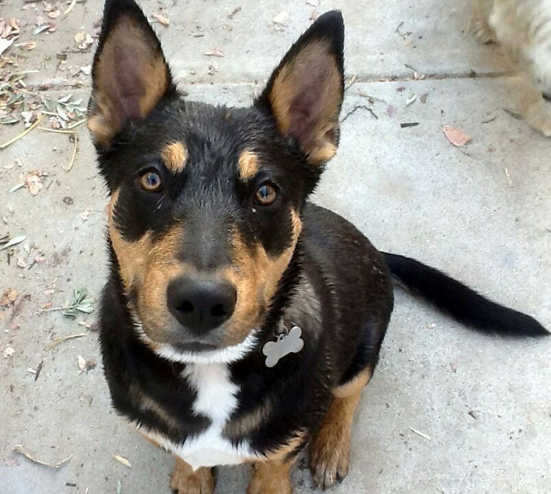 Doberman Rottweiler German Shepherd Mix Named Sasha