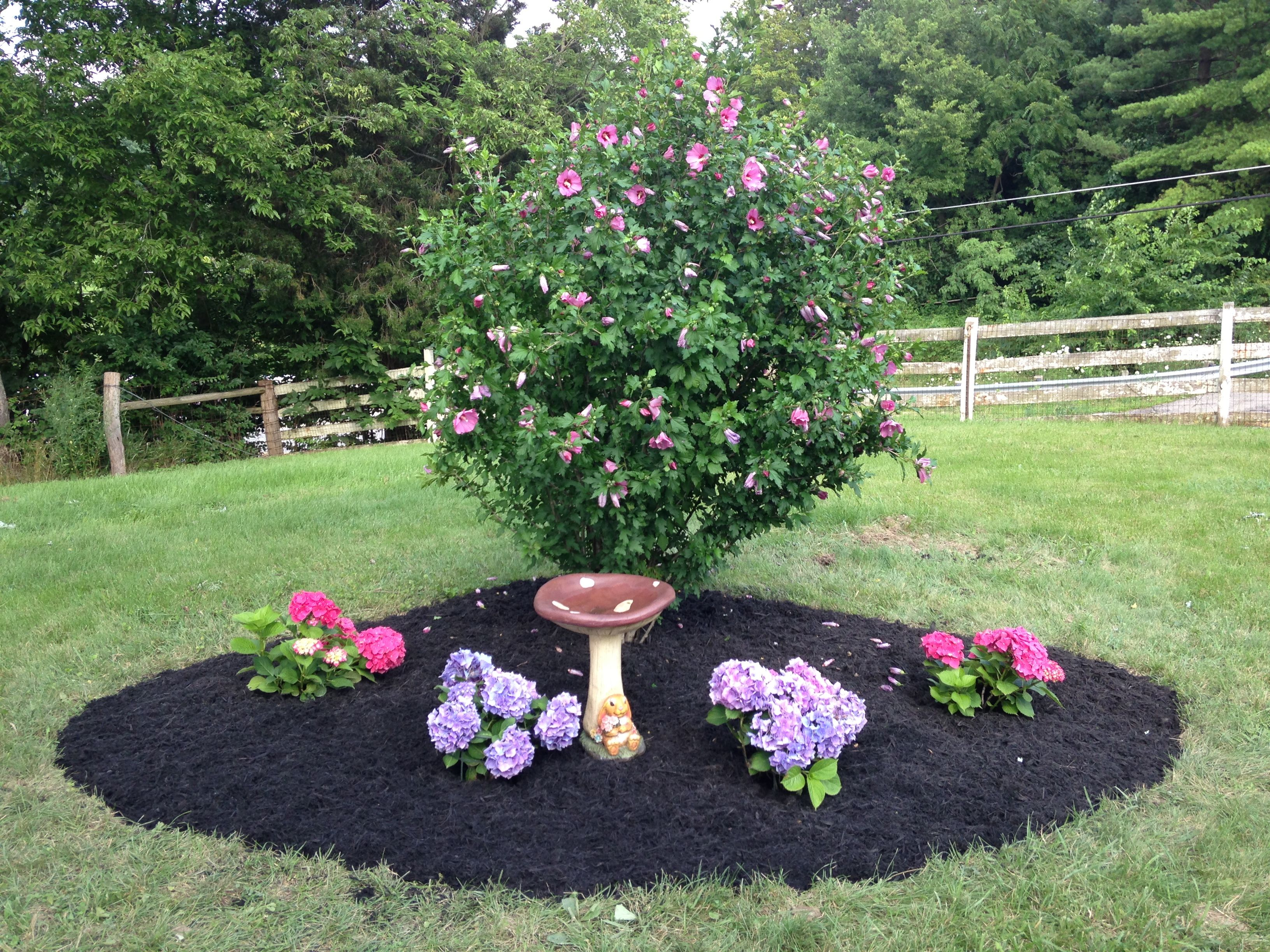 my new hydrangea bed around an existing rose of sharon bush